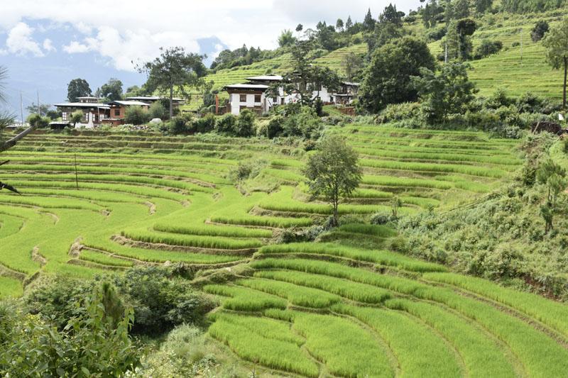 Terraced bright green rice fields, Bhutan