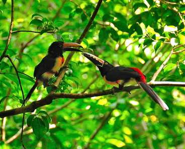 Toucans at Tikal. © Hugoht. Dreamstime.