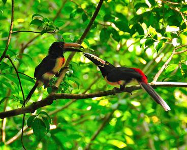 Toucans at Tikal. © Hugoht. Dreamstime.