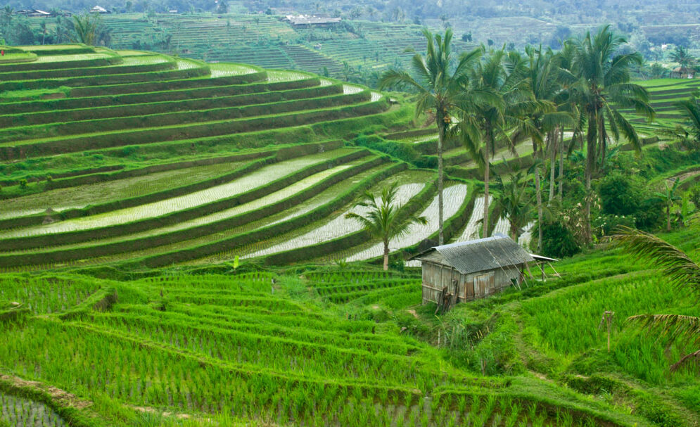 Green rice terraces of Bali.