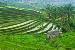 Green rice terraces where the Balinese staple food is produced.