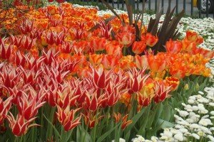 Multicolored tulips bloom in Istanbul. Turkey.
