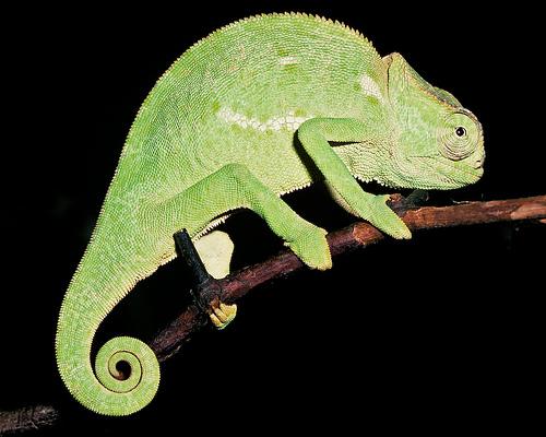 Senegalese Chameleon
