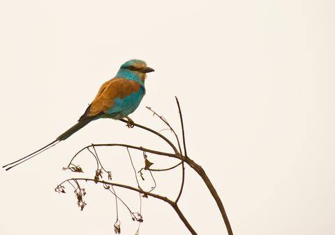 Abyssinian Roller Bird