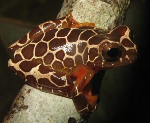 Dendropsophus+leucophyllatus_20080710_5