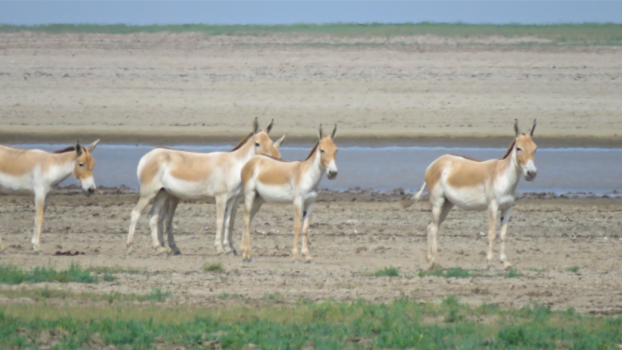 Wild asses on the Little Rann of Kutch.