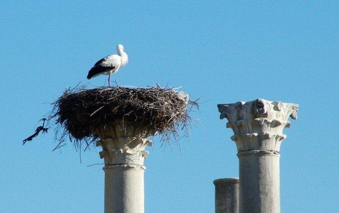 Stork nest Volubilis