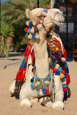 Camel in Morocco wearing textiles and tassels.